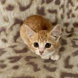 Котенок- девочка, 2 мес., Новосибирск