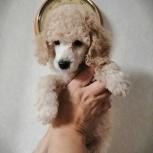 Пудель щенки, Новосибирск