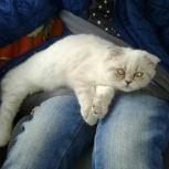 Шотландская вислоухая кошка, Новосибирск