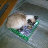 На Юго-Западном найдена тайская кошечка, Новосибирск