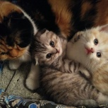 Продам  котят британцев, Новосибирск