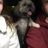 Потерялся собака ши-тцу!, Новосибирск