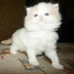 Хайленд- страйт котик кремовый ван, Новосибирск