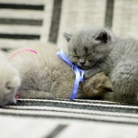 Продам котят британцев и шотландцев, Новосибирск