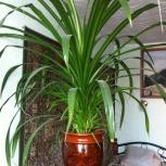 Большое красивое растение панданус для офиса, Новосибирск