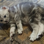 британский котенок, Новосибирск