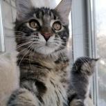 Продам котят Мейн-Кун, Новосибирск