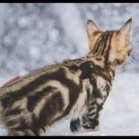 Курильский Бобтейл котенок, Новосибирск