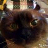 Котёнок-эльф может появиться у Вашей кошки, кёрл приглашает на вязку, Новосибирск