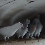 голуби, Новосибирск