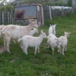 Зааненские козы, козлята и козлы, возможен обмен на сено/корма, Новосибирск
