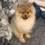 Продам щенка немецкого шпица 9мес, Новосибирск