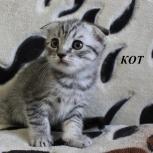 Вислоушки котята, Новосибирск