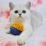 Котята британская серебристая шиншилла, Новосибирск