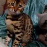 Бенгальский котик, Новосибирск