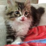 Отдам сибирского котенка в добрые руки, Новосибирск