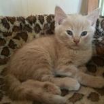 Отдам недорого чудесных котят от Британки, Новосибирск