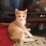 Рыжий котёночек, 2 мес. (осталась девочка), Новосибирск