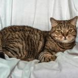 Крупный кот Барри 1-1,5 кастрат, Новосибирск