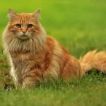 Потерялся рыжий кот, Новосибирск