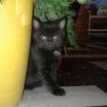 Черные котята от кошки-крысоловки!, Новосибирск