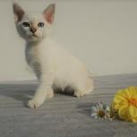 Тайские котята, Новосибирск