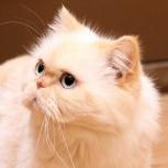 Ищем семью для фенотипичной персидской кошечки!, Новосибирск