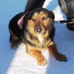 Пес, кобель 1год,метис таксы,кастрат, Новосибирск