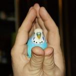 Подарите пенсионеру попугайчика или любую другую птичку, Новосибирск