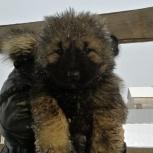 Продам щенят кавказской овчарки, Новосибирск