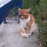 Найден рыжий кот., Новосибирск