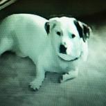 Потерялся  белый пес на коротких лапках, Новосибирск