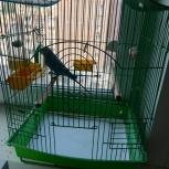 Продам волнистого попугая, Новосибирск