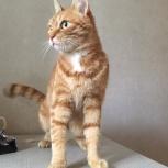 Элегантный кот Семен., Новосибирск