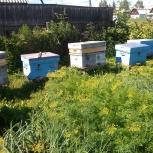 Продам пчелосемьи, Новосибирск