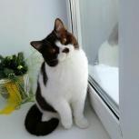Британские шоколадные котята. Питомник Ellinweiss, Новосибирск