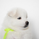 Продам щенков самоедской собаки, Новосибирск