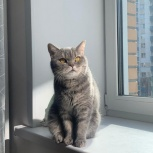 Отдам британскую кошку в добрые руки, Новосибирск