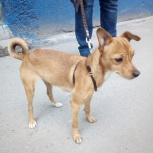 Потерялась рыжая собачка, Новосибирск