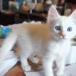 белый ангорский котенок с голубыми глазами, Новосибирск