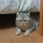 Кот шотландец прямоухий. Вязка, Новосибирск