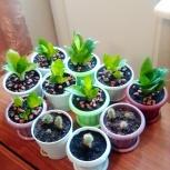 Продам кактусы и Сансеверию Ханни, в новых горшочках, Новосибирск
