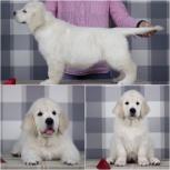 Продам щенков золотистого ретривера, Новосибирск