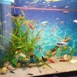 Продам аквариумных рыб меченосец, данио, Новосибирск