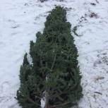 Живая пихта макушка, ель/елка сосна заготовитель, Новосибирск