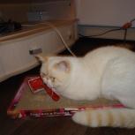 Кот-экзотический приглашает кошку на вязку!, Новосибирск
