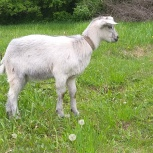 козлята коза и козочка 1 год, Новосибирск