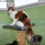 Котята мейн куна от чемпиона мира, Новосибирск