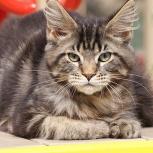 Котята породы Мейн-кун, Новосибирск