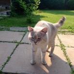 Голубоглазое чудо, кот ищет дом, Новосибирск